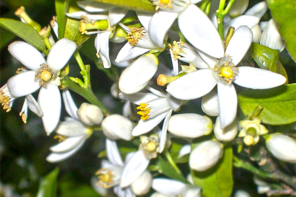orange-blossom-aka-neroli